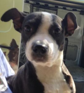 ADOPTED!!  Panama City, FL - Nino, Male : Neutered 6 Months, Boston Terrier mix- Black/White 25lbs. Located at The Humane Society of Bay County, Panama City, FL