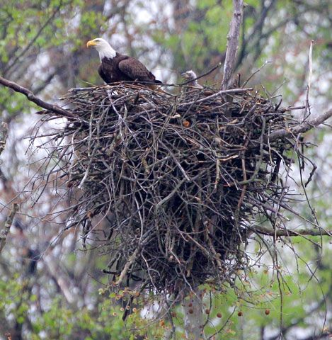 bald eagle perches in its nest along with a young eaglet at the Cuyahoga Valley National Park in Brecksville, Ohio.
