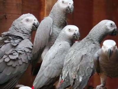 Thousands of African gray parrots rescued from traffickers in Congo (video)
