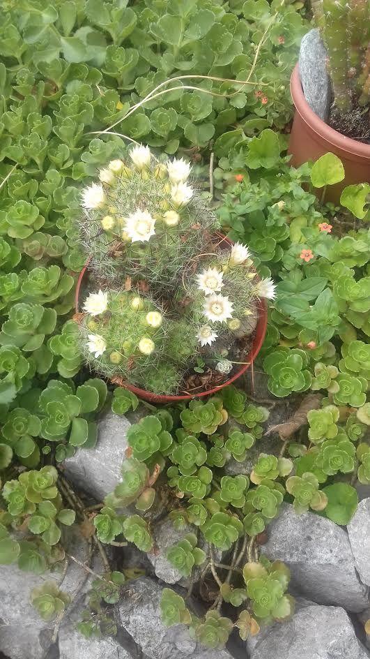 Szemölcskaktusz (Mammilaria)