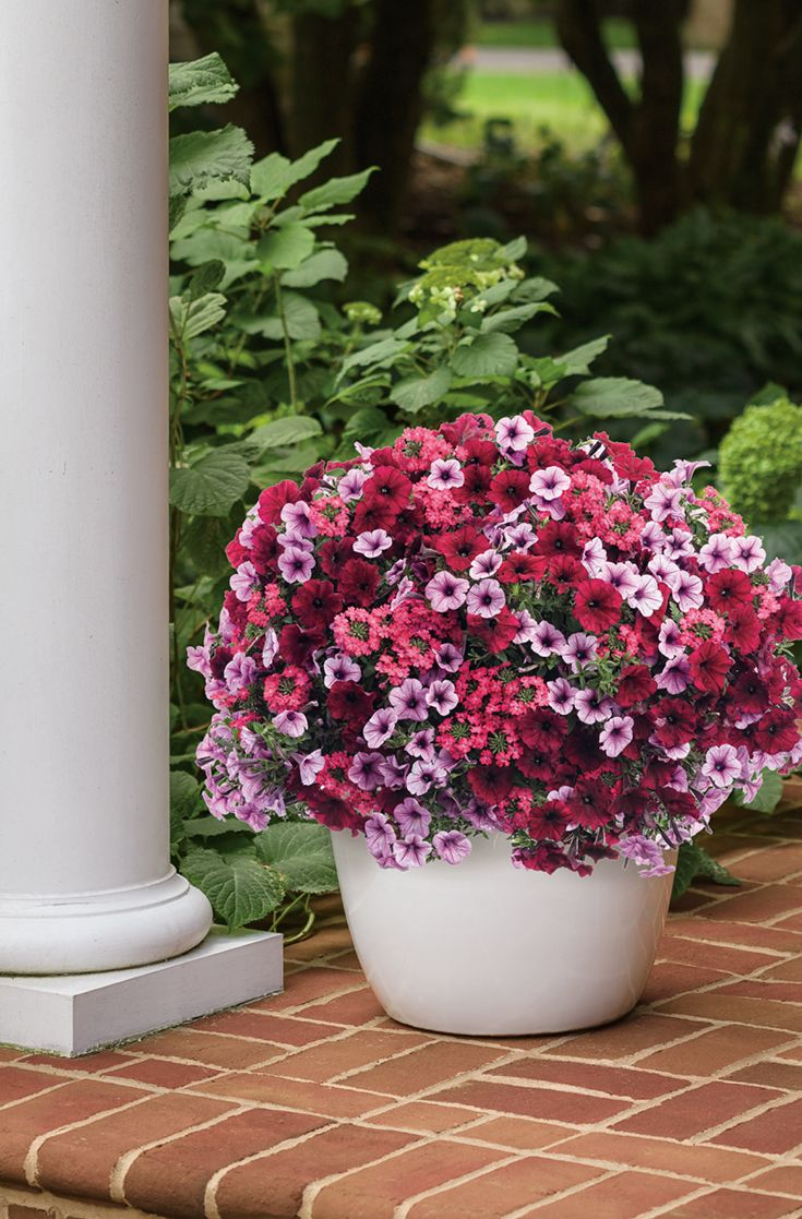 47 Best Shrubs For Containers Images On Pinterest | Proven Winners, Garden  Shrubs And Container Plants
