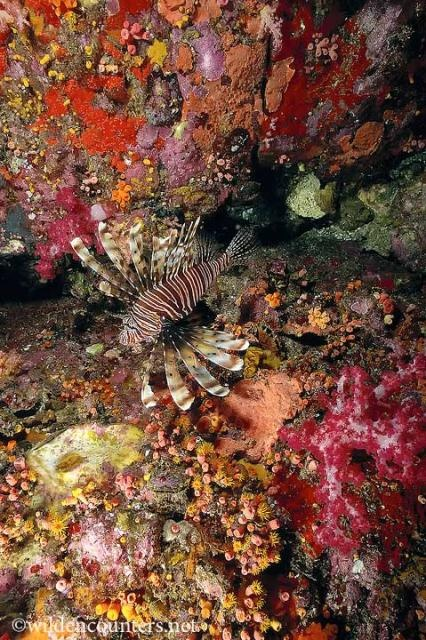 Lionfish against colourful soft coral and sponges, Malpelo, Columbia