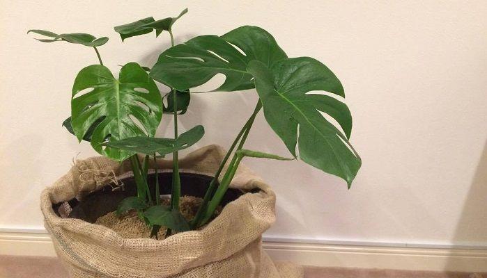 モンステラの育て方や植え替え 植物図鑑   LOVEGREEN(ラブグリーン)