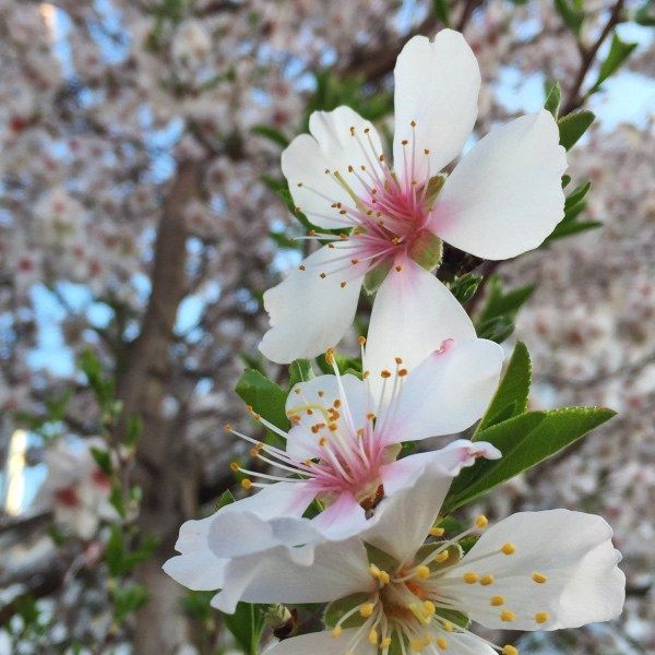 spring blossom on an almond tree