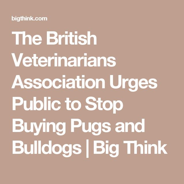 The British Veterinarians Association Urges Public to Stop Buying Pugs and Bulldogs | Big Think