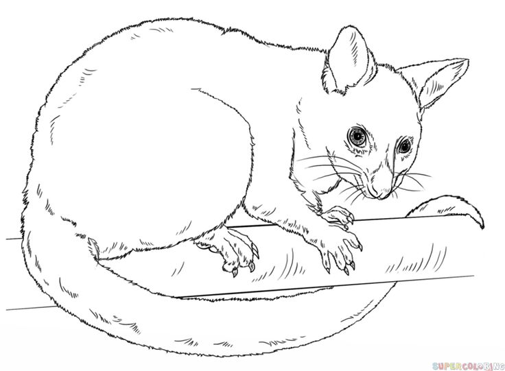 How to draw a possum step by step. Drawing tutorials for