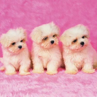 15 Hypoallergenic Dogs and Cats. This one is a Maltese: