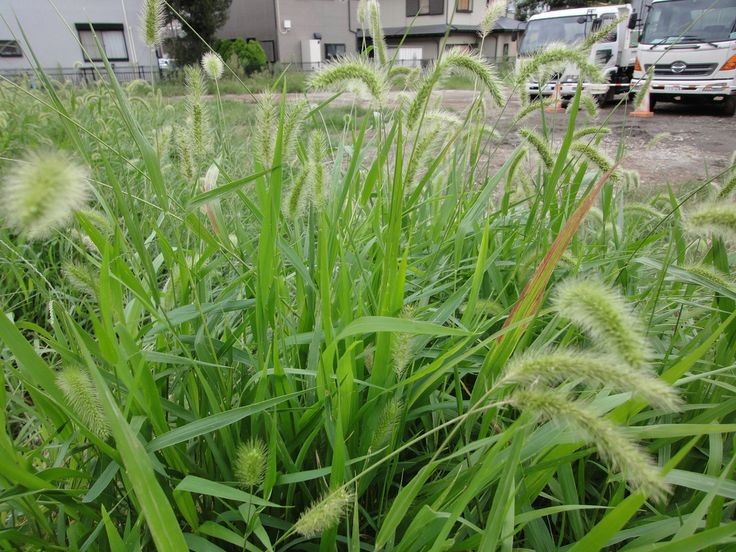 """What is foxtail weed? The plant is usually an annual but occasionally a perennial. It invades disturbed soils across North America and produces thick """"foxtails"""" of seeds that spread prolifically. Learn more here."""