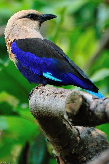 African Blue-bellied Roller
