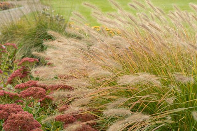 37 best v xter dekorationsgr s images on pinterest for Hardy fountain grass