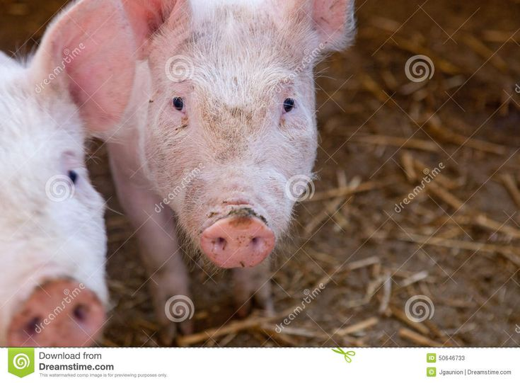 Two white young pigs on a traditional farm, spain