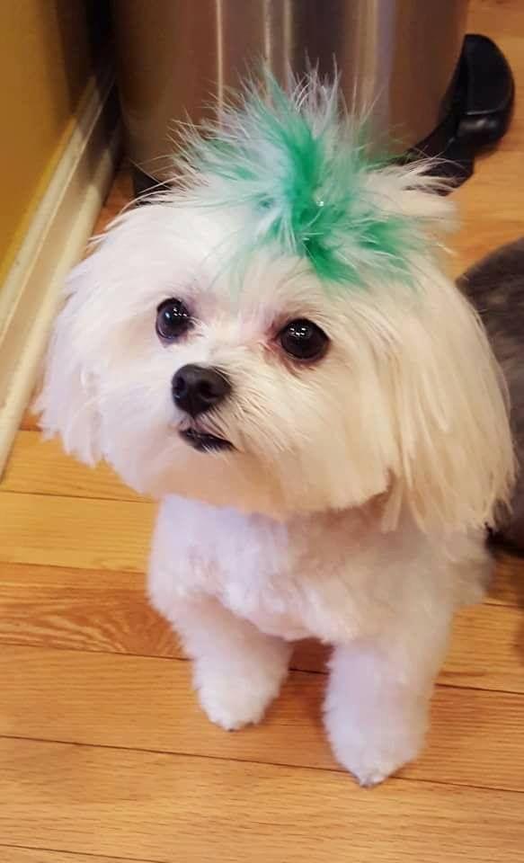 Love The Hair Cutie Pie Maltese Dogs Teacup Puppies Maltese