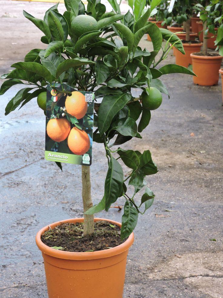 Orange Mini Standard, 70cm+ height, 5ltr decopot