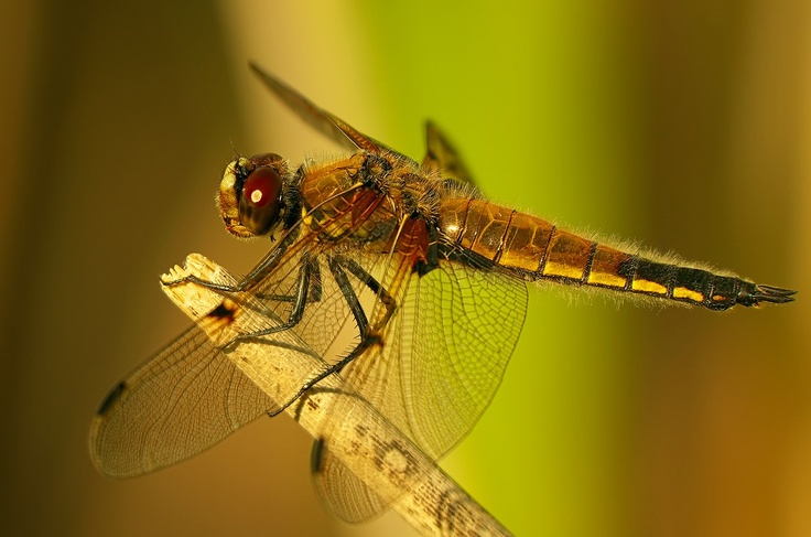 "PENTAX Photo Gallery : ""DRAGON""-Fly... - by Ogun Caglayan Turkay"