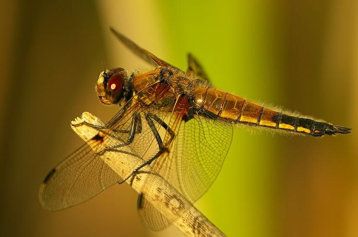 "PENTAX Photo Gallery : ""DRAGON""-Fly... - by Ogun Caglayan Turkay"
