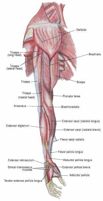 Anatomy (Psoas Pain Website)