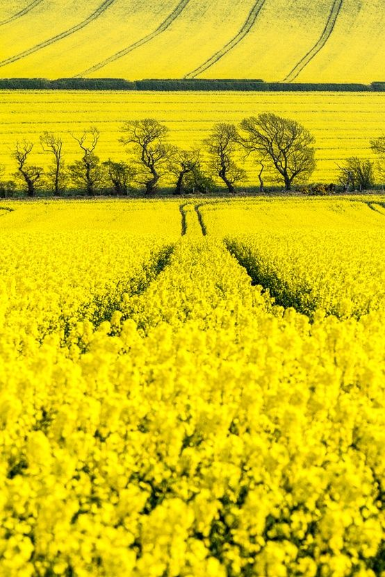 Beautiful Yellow Fields...in autumn the hills out our living room window are…