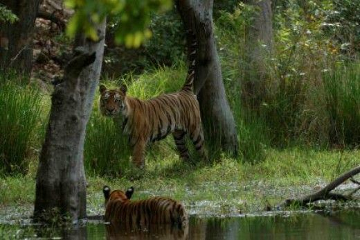 Tigers in Water at Bandhavgarh