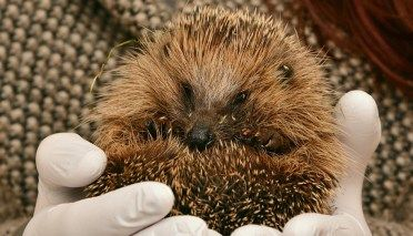 All You Need To Know About When do Hedgehogs Hibernate