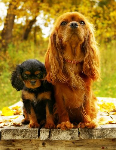 gigi and alice by sarah - Cavalier King Charles Spaniels (Ruby adult, Black & Tan puppy)