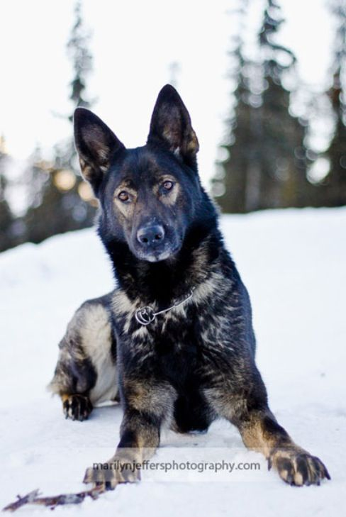 If I was to get a dog.. Black sable DDR/Czech GSD. So pretty, love the reverse raccoon eyes