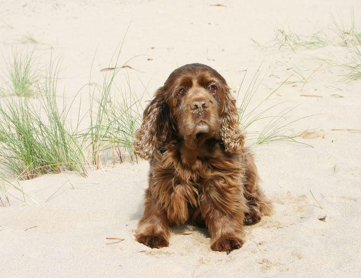 Bart, our 13 year old Sussex Spaniel,