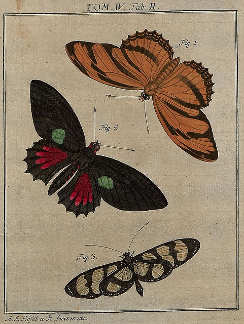 Butterflies, Lepidoptera, zoological illustration, biodiversity library