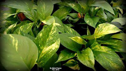 Meu cantinho verde: JIBÓIA-VERDE ( Epipremnum pinnatum )