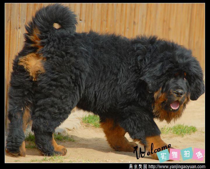 tibetan mastiff puppies   tibetan mastiff dog photos , tibetan mastiff for sale uk ,