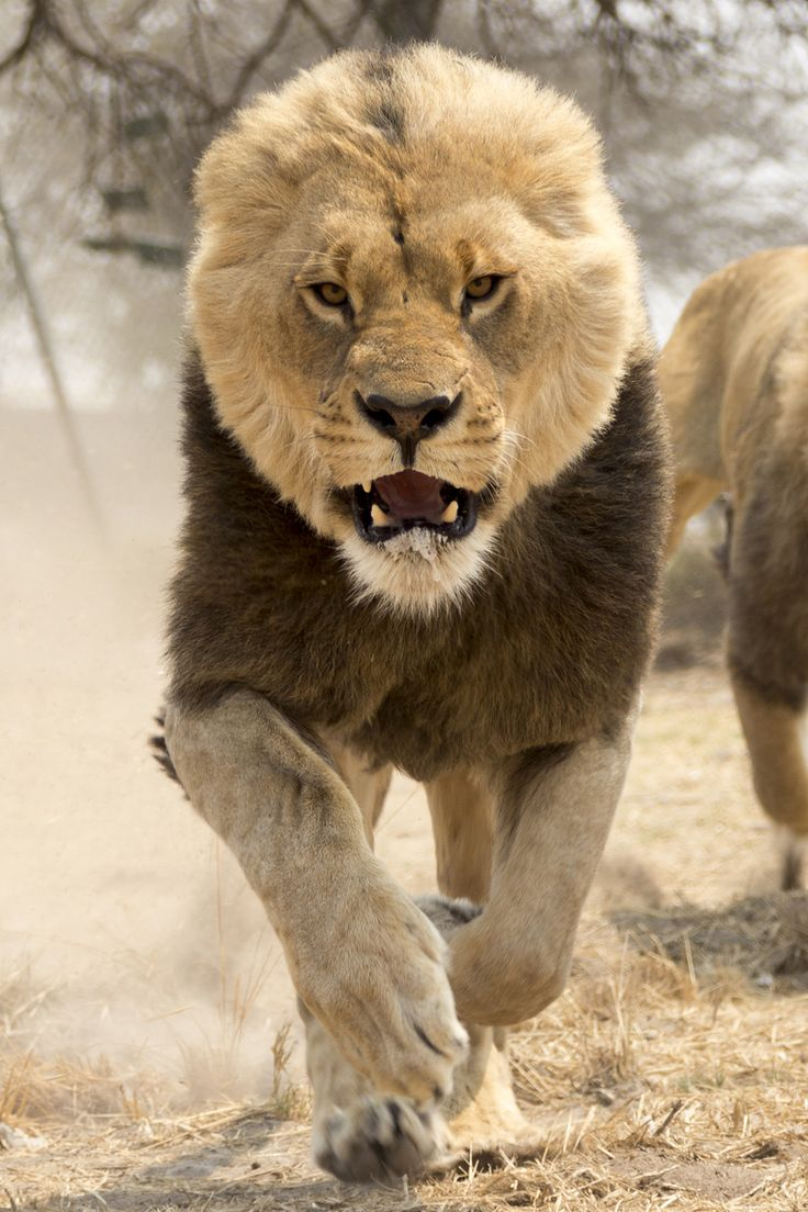 Charging Lion - yeah i would not want to see that coming ...