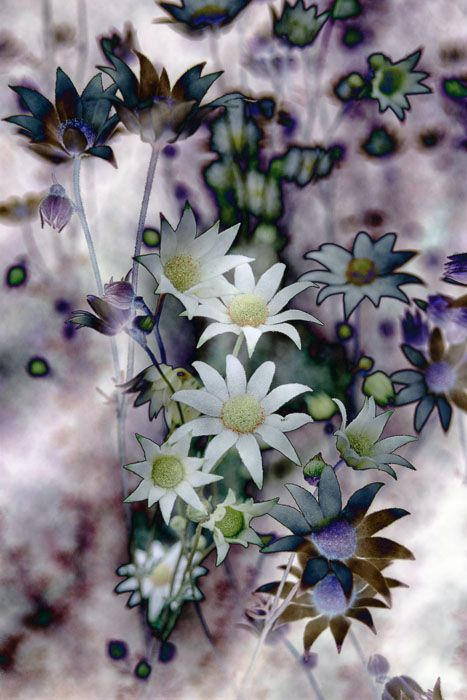 """""""Flannel Flowers I"""" Flannel flowers (Actinotus helianthus) from Sydney. Photo Credit: Esther Beaton National Geographic"""