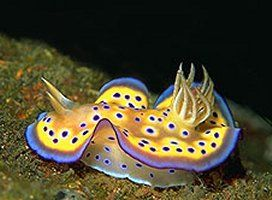 """Nudibranch, Philippines Photograph by Libor Spacek, My Shot Nudibranchs, nicknamed """"nudis,"""" are best known for the impossible array of colors and designs they sport. They derive coloring, as well as toxicity, from the food they eat. Their wild hues tell potential predators, """"You'd best look elsewhere for a meal."""""""