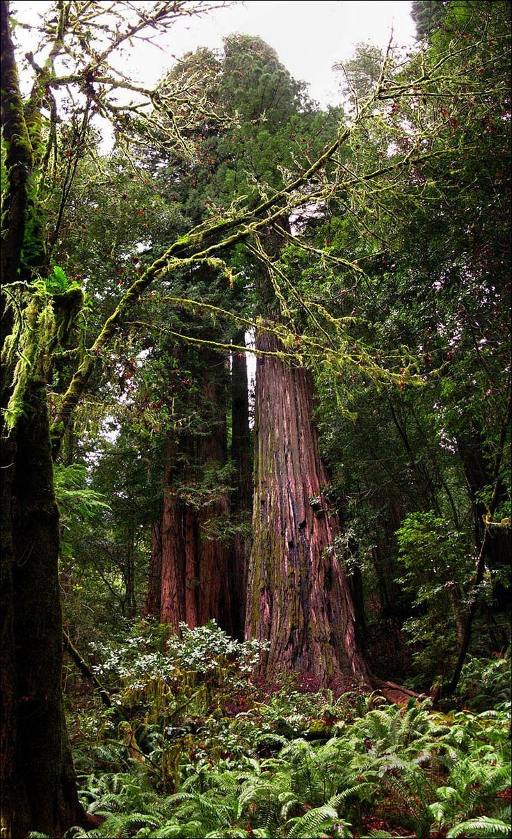 This redwood is likely the tallest tree in the world, a Sequoia sempervirens, Hyperion Tree.