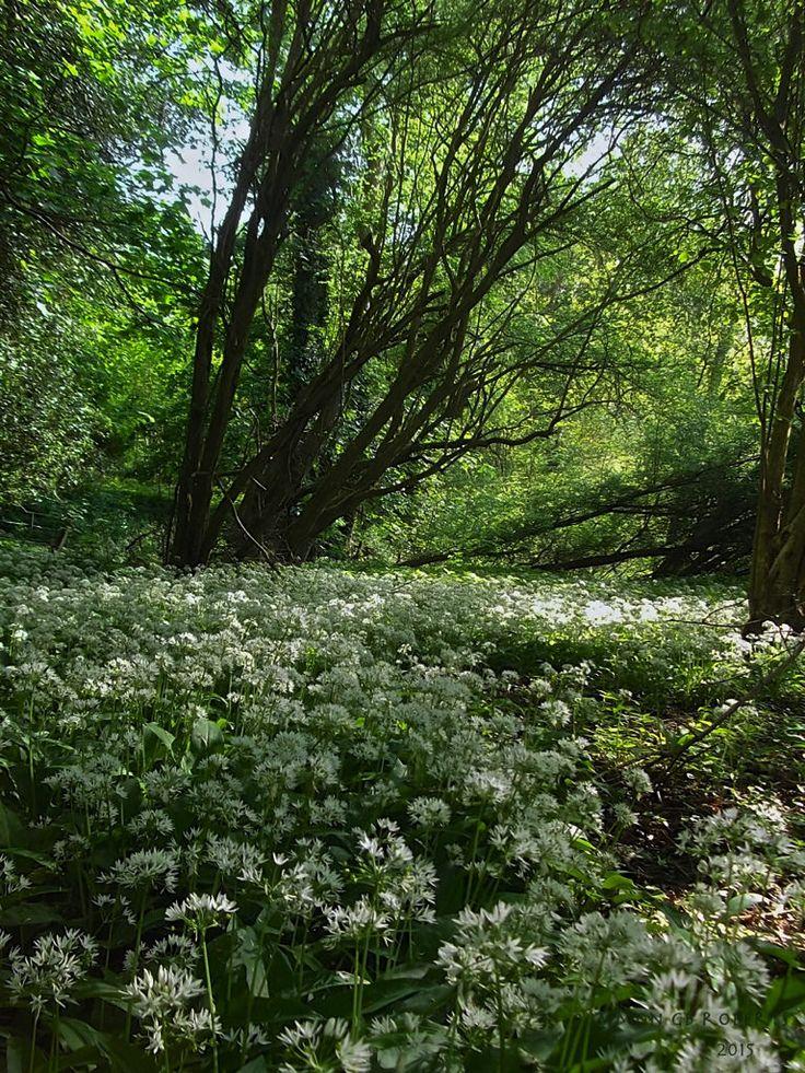 https://flic.kr/p/tkeCkm | Walkies 6 | Wild Garlic or Ramsons... #wildflowers #woodland