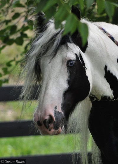 The Lion Kings Leo Aurora Acres Gypsy Stallion With