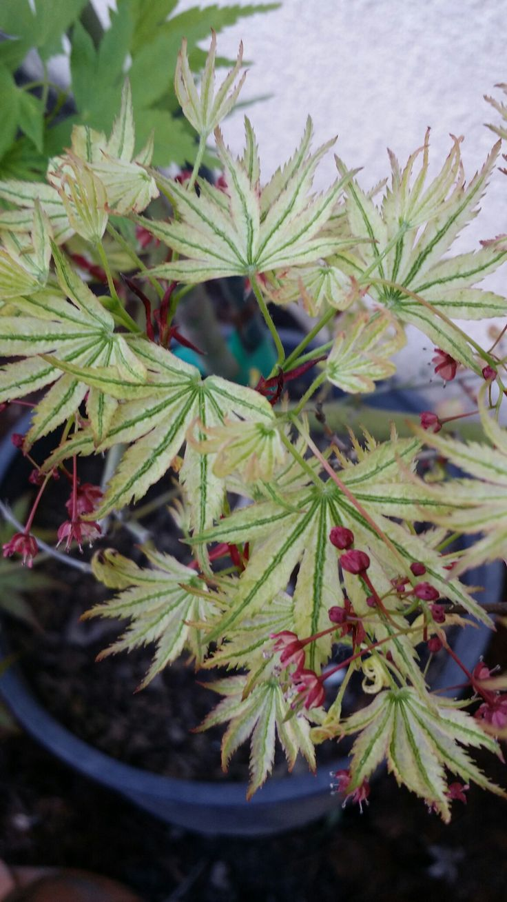 How to care for a fern leaf japanese maple - Alpenweiss Japanese Maple