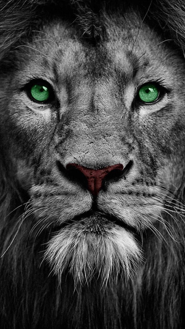 Pin By Mehti On Natureza Lion Eyes Lion Wallpaper Lion Pictures