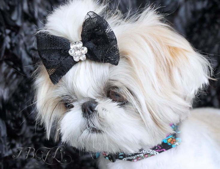 teacup shih tzu puppies for sale in ohio best 25 shih tzu for sale ideas on pinterest shih tzu