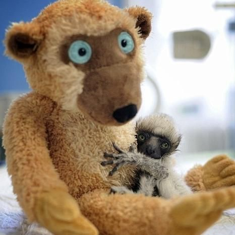 This baby lemur refuses to let go of his best friend.  60 Real Animals Snuggling With Stuffed Animals • Page 3 of 5 • BoredBug