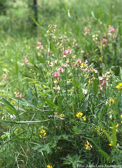 Backvial förekommer sparsamt i södra och mellersta Sverige, sällsynt även längre norrut. Den växer vanligen i backar och skogsbryn, ofta på kulturpåverkad mark.