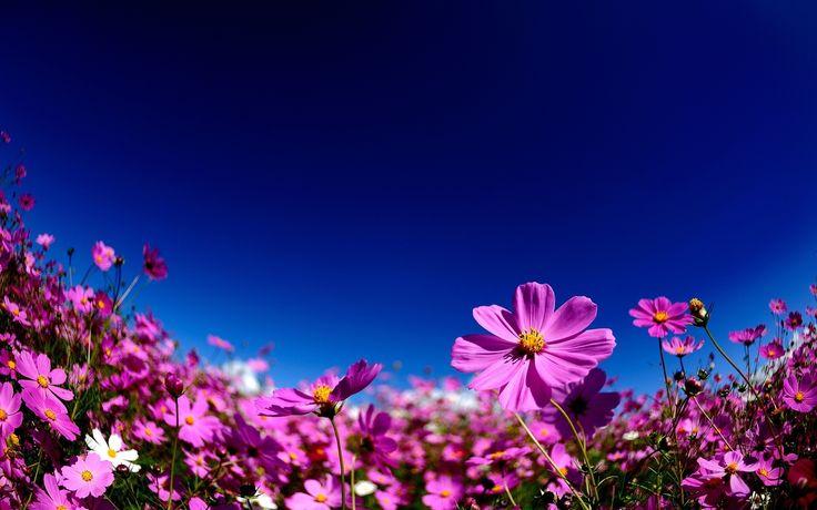 Fond d cran hd fleurs roses fond d 39 cran hd gratuit for Pack fond ecran hd