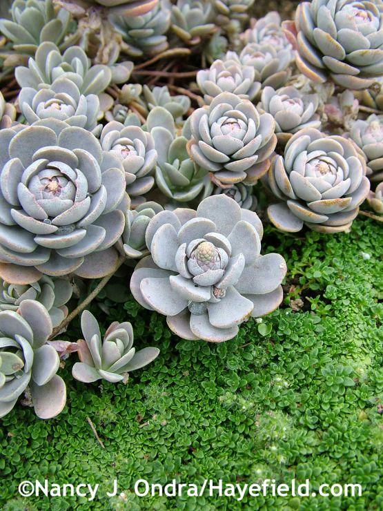 38 best Groundcovers images on Pinterest Garden ideas Garden