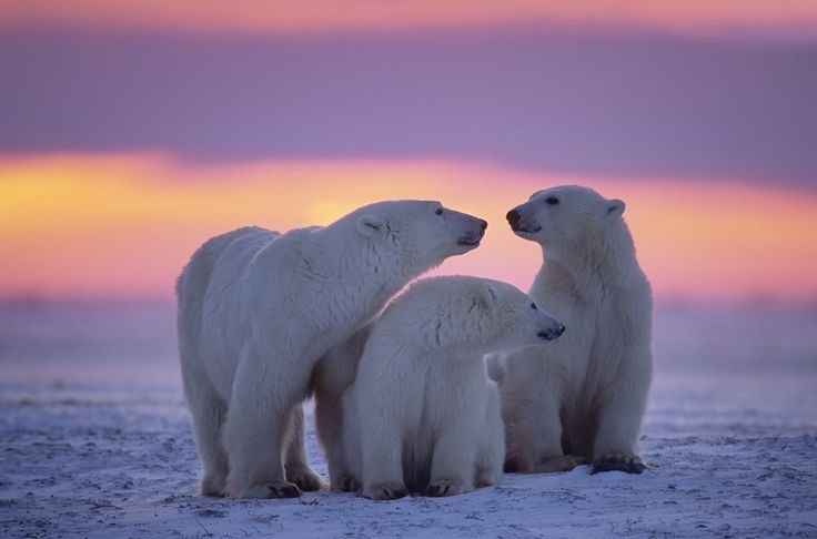 A family of polar bears chilling at sunset. | 14 Pictures Of Canadian Animals That'll Brighten Your Day