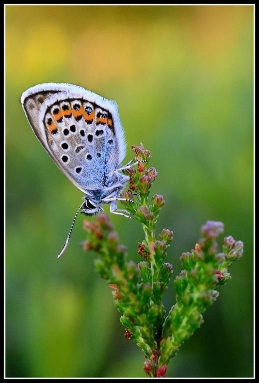 The photo of the day is Silver Studded Blue by Sarah Penfold. A beautiful macro shot with a lovely shallow depth of field