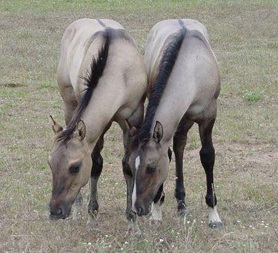 Grulla Horses - Love the Black Duns