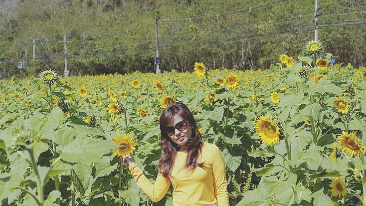 Sun flower field khao yai