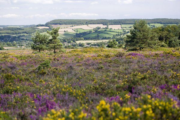 """Flora on RSPB Aylesbeare Common is dominated by three heathers (ling, bell and, in damper terrain, cross-leaved heath) and two species of gorse (counterintuitively, western is more abundant than common), often parasitised by the red-stemmed, white-flowered dodder."" 52 Wildlife Weekends www.bradtguides.com"