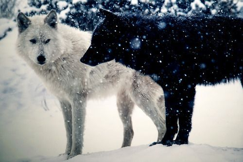 Wolves wonder.