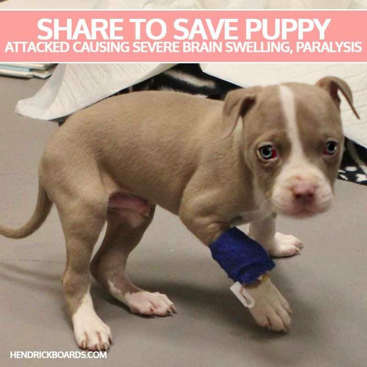 PIN TO SAVE PUPPY ATTACKED CAUSING SEVERE BRAIN SWELLING, PARALYSIS   Atlanta Pet Rescue & Adoption got a call from a local animal control facility about a puppy that had been viciously attacked by another dog. When they got there, they found out the little guy is only around 7 weeks old, and was dealing with some very critical issues from the attack.