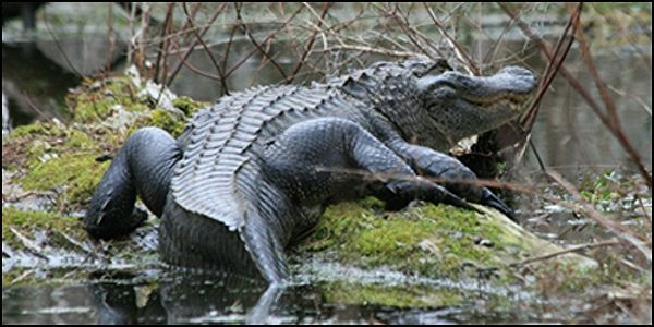 Stop Alligator Hunts in Protected Sanctuary